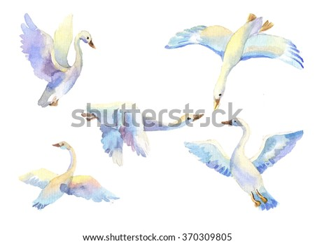 flying swans in light color watercolor. Set of bird flying in different poses. Birds in passage, wild birds, symbol of freedom, love, loyalty, family, wildlife