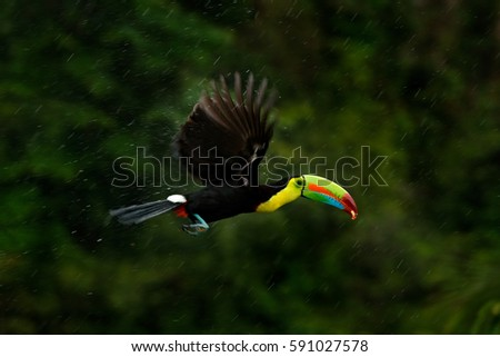 Flying tropical bird during strong rain. Keel-billed Toucan, Ramphastos sulfuratus, bird with big bill flying above the forest. Beautiful wildlife scene. Animal in nature forest habitat, Costa Rica.