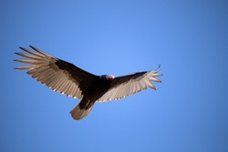 Flying turkey vulture in the sky