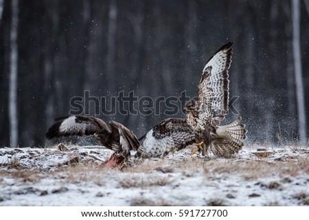 Shutterstock Flying two Buzzard, Action scene, brown bird with a hooked beak, predator on the prowl, flying predator, Two predators fighting over the spoils, Europe, czech republic, moravia