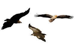 Flying vultures. Isolated birds. White background. Left to right; Cinereous Vulture, Griffon Vulture and Egyptian Vulture.