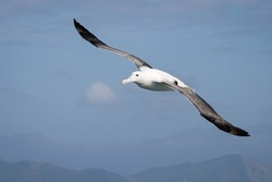 Flying wandering  albatross