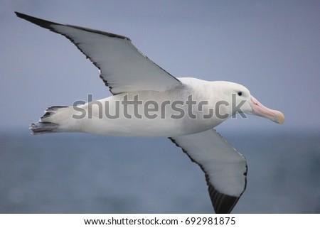 Flying Wandering Albatross, Snowy Albatross, White-Winged Albatross or Goonie, diomedea exulans, Antarctic ocean, Antarctica #692981875