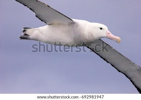Flying Wandering Albatross, Snowy Albatross, White-Winged Albatross or Goonie, diomedea exulans, Antarctic ocean, Antarctica #692981947