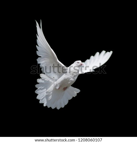 Flying white dove isolated on black background #1208060107