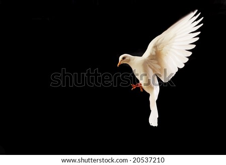 flying white dove isolated on black background