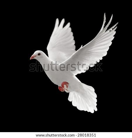 flying white dove isolated on black background