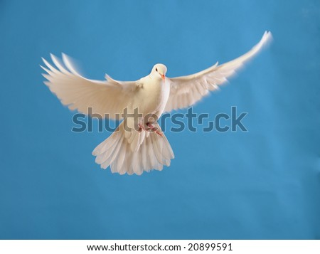 flying white dove isolated on blue