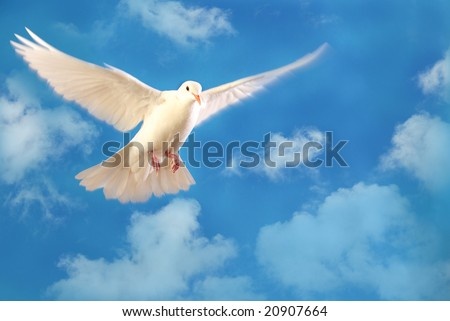 flying white dove isolated on blue sky