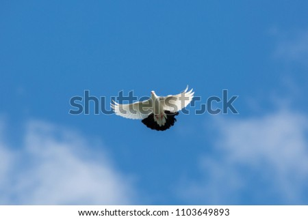 flying white dove with black tail in blue sky