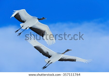 Shutterstock Flying White two birds Red-crowned crane, Grus japonensis, with open wing, blue sky with white clouds in background, Hokkaido, Japan