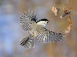 Flying Willow Tit (Poecile montanus, Poecile montana, Parus montanus) in winter. Moscow region, Russia