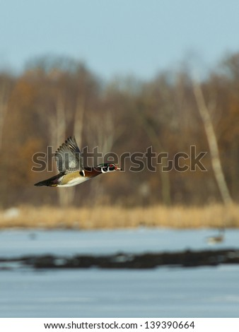 Flying Wood Duck