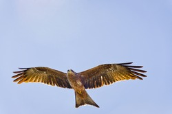 Flying Yellow-billed kite