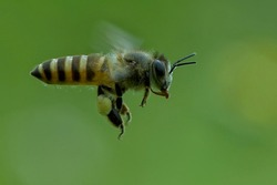 flyong honey bee