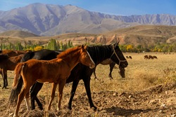 Foal and horse in the foothills. A herd of mountain horses. Autumn landscape of the foothills of Kazakhstan. Mountains in the background. Mountain horse pasture. Dried grass. The beauty of free horses