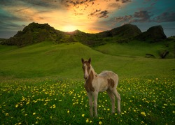 Foal in a flower meadow with sunset