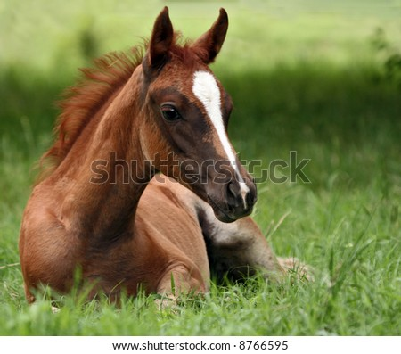 Foal laying in pasture
