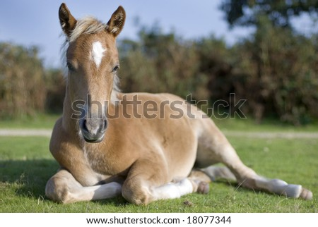 Foal laying in pasture, New Forest, England