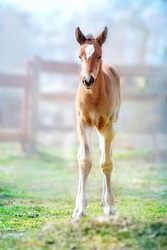 Foal on the spring grass in the farm yard in the foggy morning.