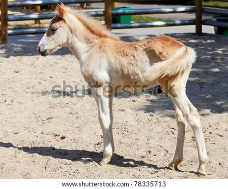 Foal stallion on the farm - stock photo