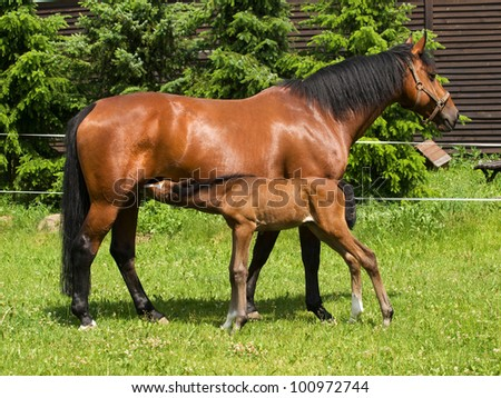 Foal sucking mothers milk from mare