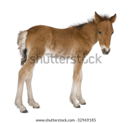 Foal (4 weeks old) in front of a white background