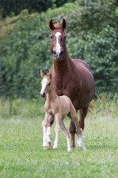 Foal with her mother on a pasture
