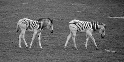 Foals zebras are several species of African equids (horse family) united by their distinctive black and white stripesMother and foal zebras are several species of African equids (horse famil