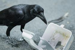 Foam box garbage on the street with a black bird.