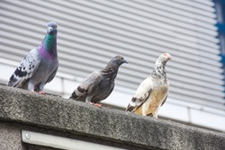 Focus of Pigeons cling on cement floor in town with City Background (Columba livia domestica), Pigeon or domestic pigeon or Columba livia domestica or rock dove or rock pigeon.
