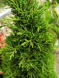 focus of the evergreen tree when zoomed