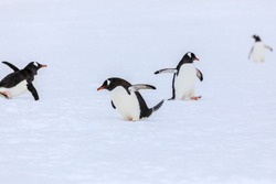 Focus on a gentoo penguin (Pygoscelis papua) slipping in the snow amongst a funny group of gentoo penguins performing penguin antics in the white continent of Antarctica