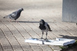 Focus on a hooded crow, a black and grey crow bird from the corvidae family, also called Corvus Cornix, eating garbage from an empty dirty thrown away pizza box.