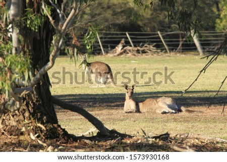 Focus on a large male kangaroo lying in the middle of a paddock while a female with a joey in it's pouch is de-focused in the background and with a de-focused tree in the foreground.