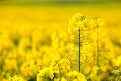 Focus on a single rapeseed flower in a field full of the yellow spring crop.