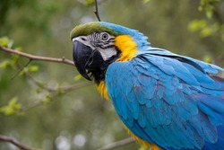 Focus on head Blue and yellow Macaw. Ara ararauna. Portrait parrot, part of a serie.