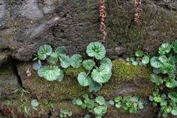focus on leaves green plants  growing on humid rock wall in the tropical rainforest