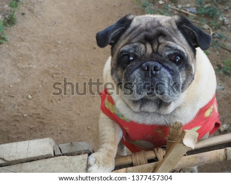 Focus on pug dog pictures. The photo of an old Pug dog looking at the camera suspiciously.