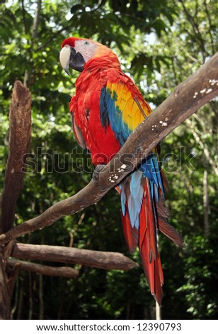 Focus on Scarlet macaw sitting on branch with blurred green forest scene in background. Honduras