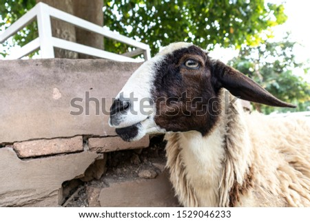 Focus on the face of the sheep that are in the sheep farm. Sheep looking at the camera. #1529046233