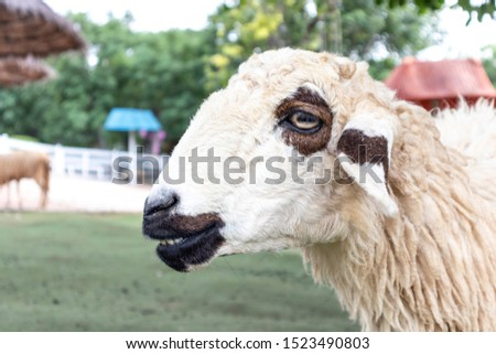 Focus on the face of the sheep that are in the sheep farm. Sheep smile looking at the camera. #1523490803