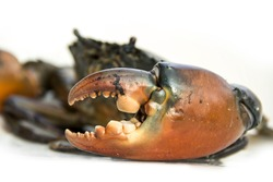 Focus on the large claw of Live Mud Crab Scylla serrata male isolated on white background.