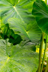 Focus on the leave in front. Plant with giant leaves, called the giant elephant's ear (Alocasia macrorrhiza). The leaves are water-repellent, aquafobic