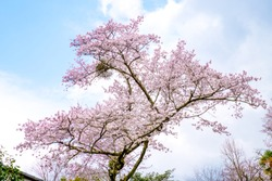 Focus one sakura cherry blossoms tree blooming on sunny day,all branch natural curve turn to pink color against blue clouds sky on white isolated background in forest ,Japan.