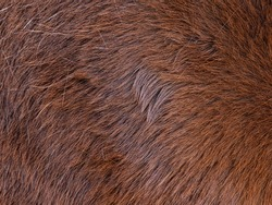 Focus to hairs direction in the horse fur. Brown  horse spring skin after brushing of the long warm winter fur.