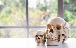 Focus to skull or cranium in font of window background with blurred nature scenery outside to copy space for texts. Medical education concept.