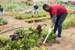 Focused African American working with hoe in kitchen garden, hoeing soil on vegetable rows..