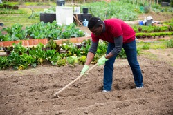 Focused African American working with hoe in kitchen garden, tilling soil before planting vegetables