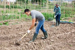 Focused gardener working soil with hoe at his smallholding during spring planting works
